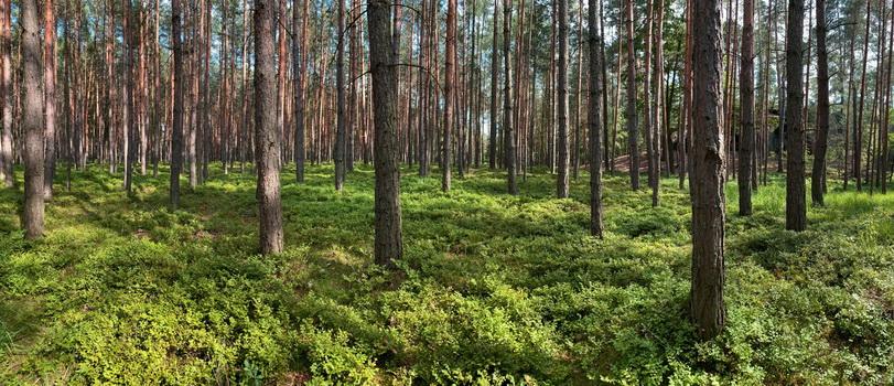 Všude kolem lesy plné borůvek. Cestou jsme potkali hned několik poloprofi česačů