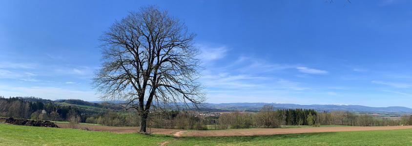 Významné chráněné stromy a panorama Krkonoš. Vpředu jilm a za ním dole po cestičce naleznete i lípu.